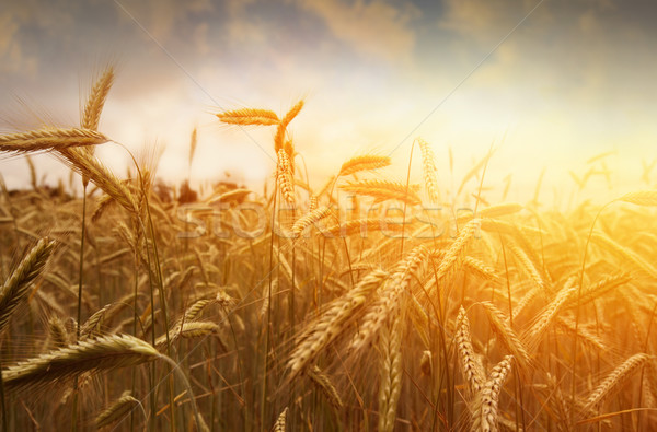 golden wheat field and sunset Stock photo © mikdam