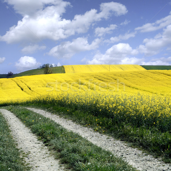 yellow field with oil seed rape in early spring Stock photo © mikdam
