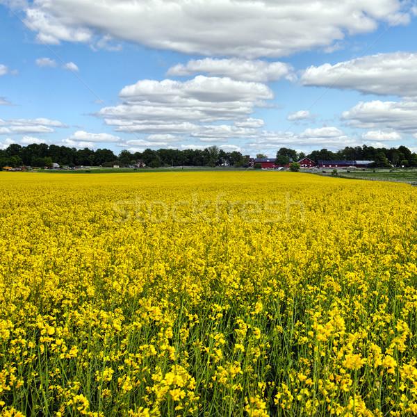 Óleo semente natureza paisagem vegetal crescimento Foto stock © mikdam