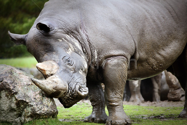 Rinoceronte poder perigo cinza força Foto stock © mikdam