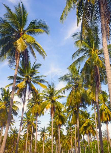 Pálmafa természet nyár pálmalevél nap napfény Stock fotó © mikdam