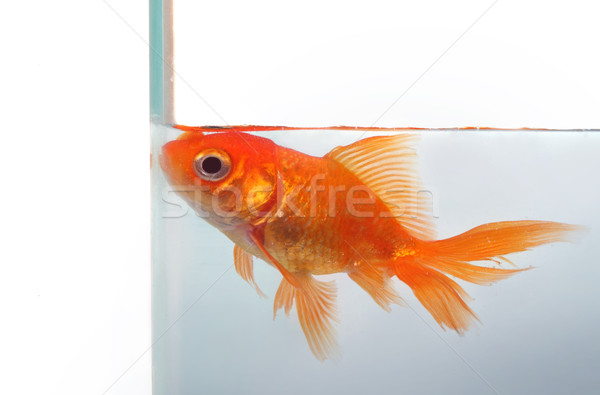 Goldfish wants more space Stock photo © mikdam