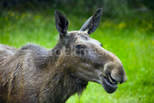 Moose in Sweden Stock photo © mikdam