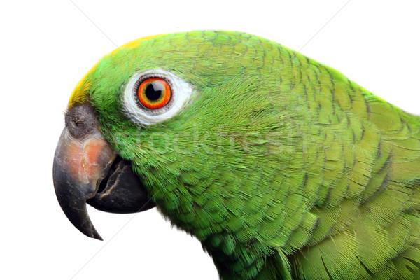 Amazon Papagei Tier Haustiere weißem Hintergrund Stock foto © mikdam