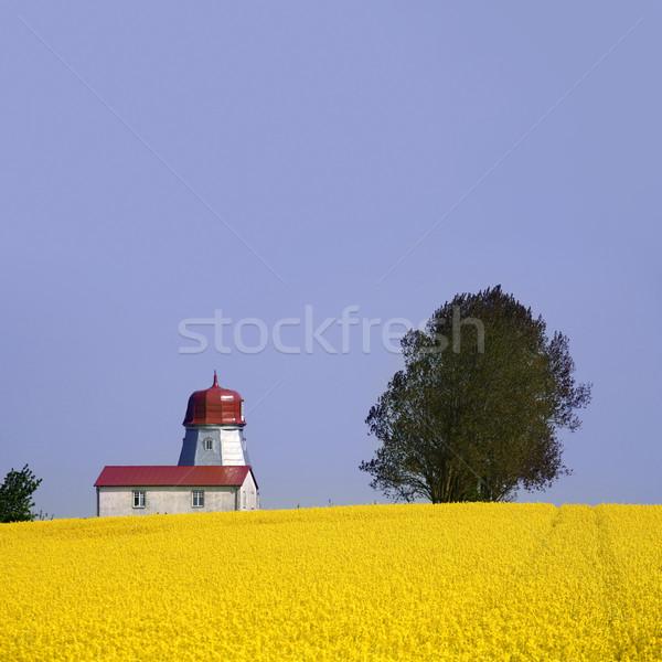 Amarelo campo Óleo semente cedo Foto stock © mikdam