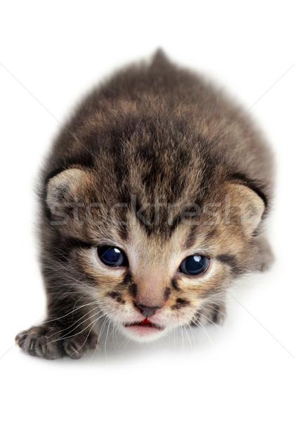 Isolated Kitten Stock photo © mikdam