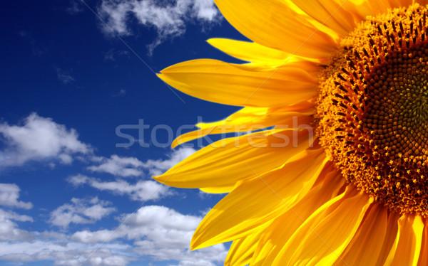 Napraforgó égbolt mezőgazdaság mag kint Stock fotó © mikdam