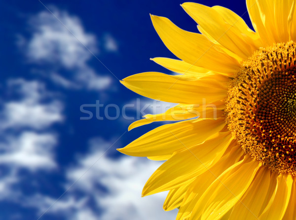 yellow sunflower against blue sky Stock photo © mikdam