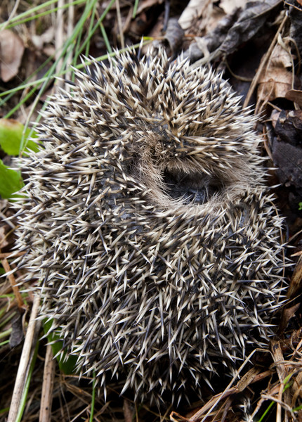 Hedgehog curled up into a ball Stock photo © mikdam