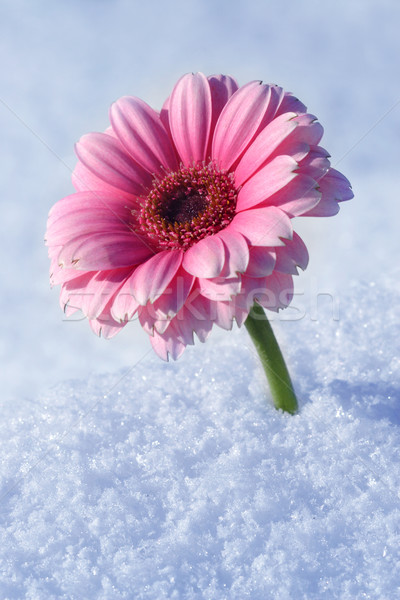 Image of Gerbera in snow Stock photo © mikdam