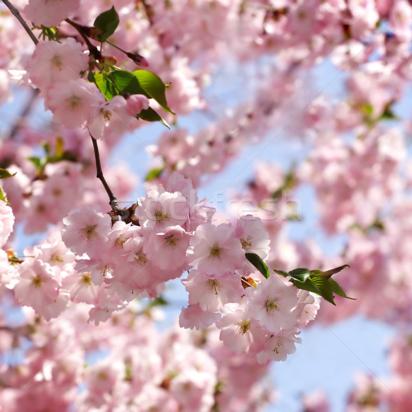 Stock photo: Cherry tree