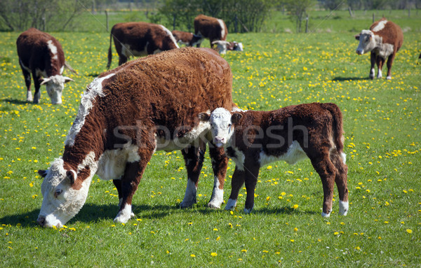 Nyáj tehenek nyár zöld mező természet Stock fotó © mikdam