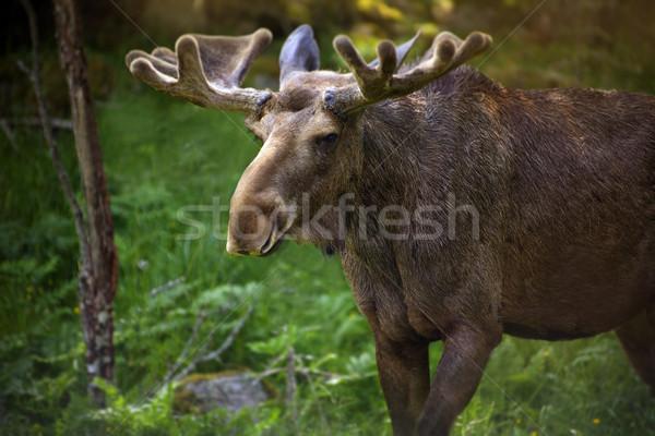Jávorszarvas Svédország bika Stock fotó © mikdam