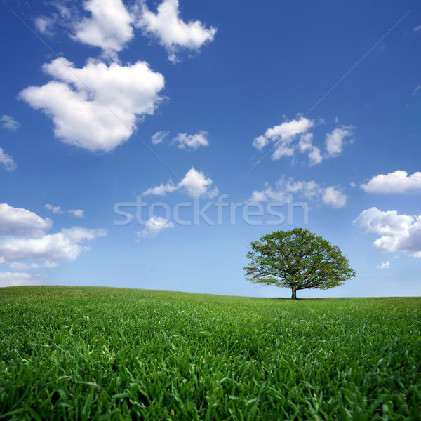 Lonely tree on green filed, the blue sky and white clouds  Stock photo © mikdam