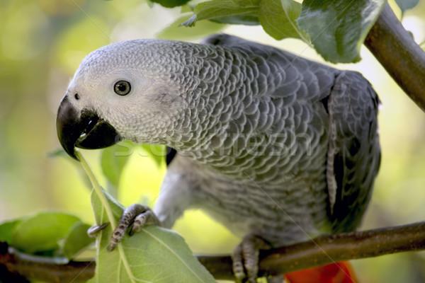 Afrikai szürke papagáj ül fa természet Stock fotó © mikdam