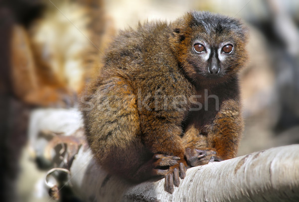 Red-bellied Lemur Stock photo © mikdam