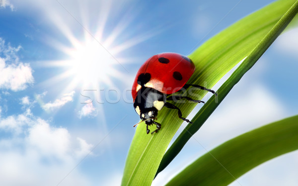 Coccinelle printemps herbe feuille vert animaux Photo stock © mikdam