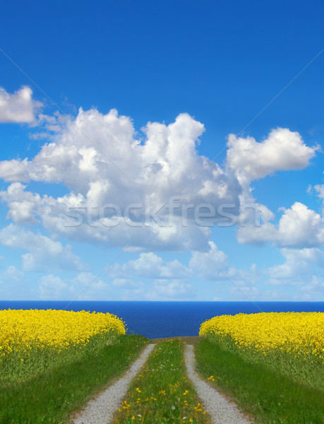 Yellow rapeseed field  Stock photo © mikdam