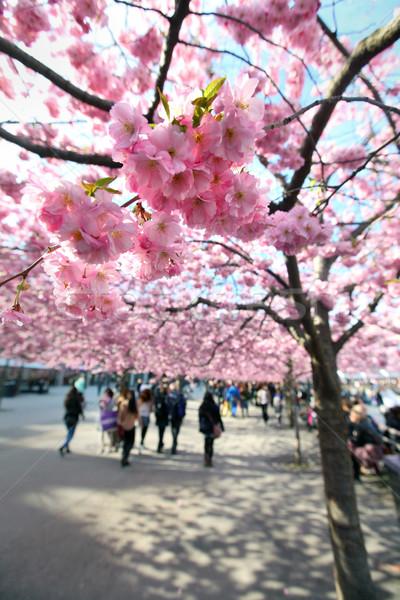 Cherry-trees, Stockholm, Sweden Stock photo © mikdam