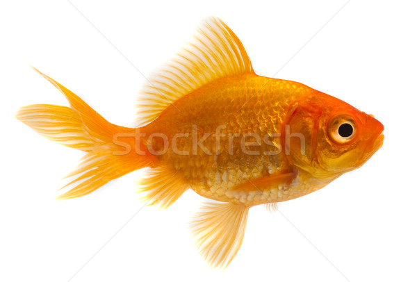 Goldfish in front of a white background Stock photo © mikdam