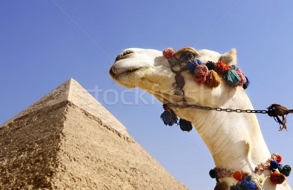 Camel with a Pyramid in background Stock photo © mikdam
