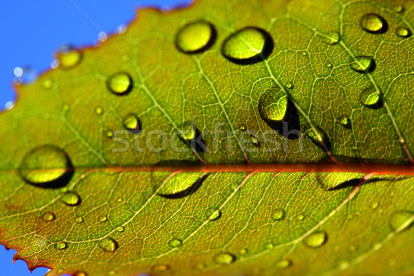 leaf with rain droplets Stock photo © mikdam