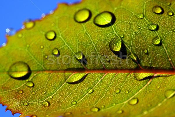葉 雨 滴 自然 植物 ドロップ ストックフォト © mikdam