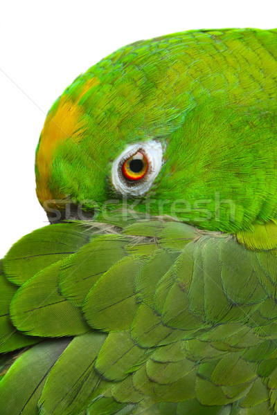 Amazon Parrot Stock photo © mikdam
