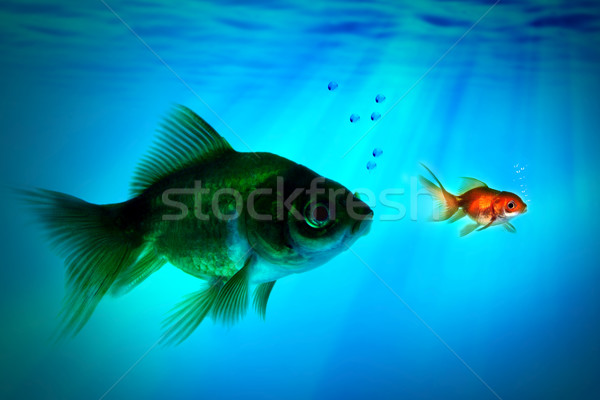 The bigger fish tries to eat the small one. Stock photo © mikdam