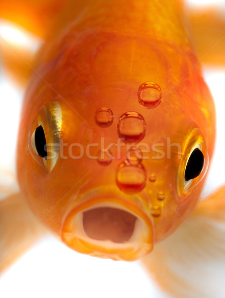 Goldfish подводного животного аквариум домашние Сток-фото © mikdam