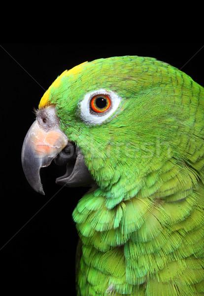 Foto stock: Amazona · papagaio · animal · animais · de · estimação · fundo · branco