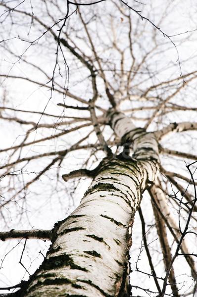 Korai tavasz nyírfa erdő felhők természet Stock fotó © mikhail_ulyannik