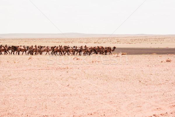 Camels on a sand. Beginning of the Gobi desert Stock photo © MikhailMishchenko