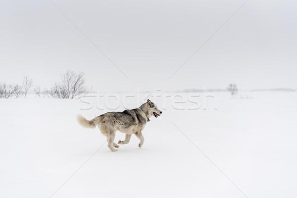 ハスキー を実行して だけ 白 雪 フィールド ストックフォト © MikhailMishchenko