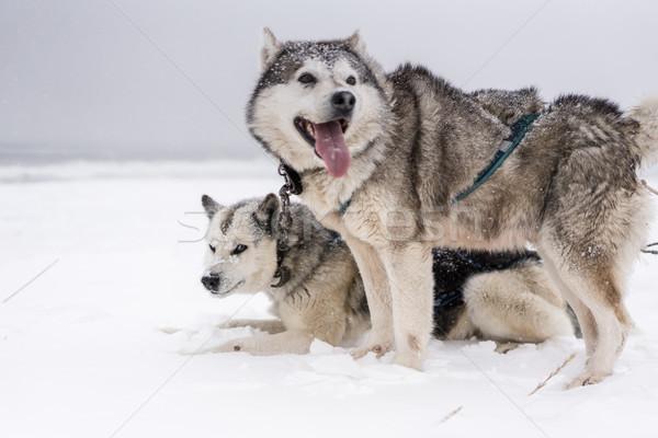 Takım köpekler kar fırtınası sahil köpek kar Stok fotoğraf © MikhailMishchenko
