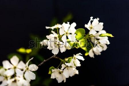 Ptaków wiśniowe drzewo białe kwiaty czarny Zdjęcia stock © MikhailMishchenko