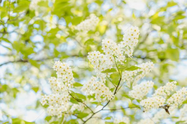 Blooming bird cherry tree Stock photo © MikhailMishchenko