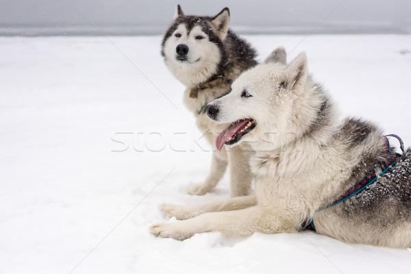 Squadra cani blizzard costa cane neve Foto d'archivio © MikhailMishchenko