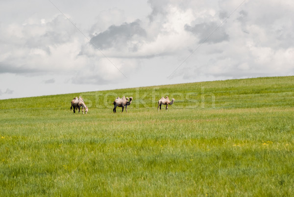 Tevék mező kezdet sivatag délkelet Mongólia Stock fotó © MikhailMishchenko