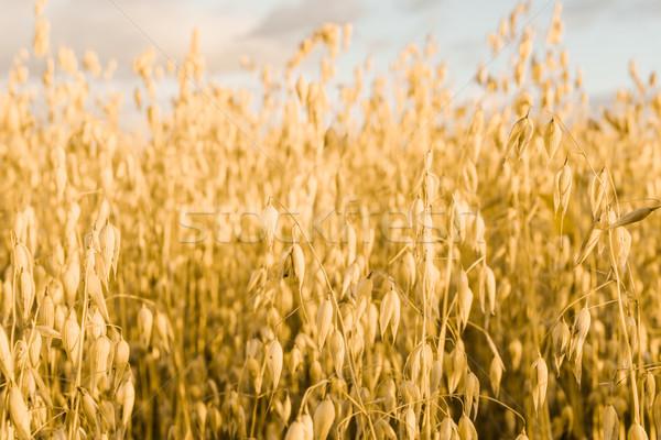 Búzamező fülek arany búza este vidék Stock fotó © MikhailMishchenko
