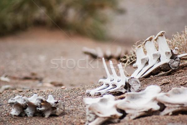 Biały szkielet martwych zwierząt niebezpieczeństwo pustyni Zdjęcia stock © MikhailMishchenko