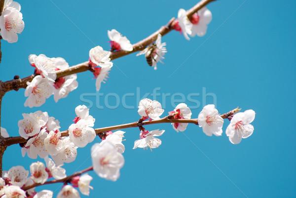 Kersenbloesem bloemen vol bloeien voorjaar blauwe hemel Stockfoto © MikhailMishchenko