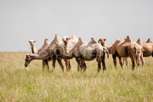 Camels on a field. Beginning of the Gobi desert Stock photo © MikhailMishchenko
