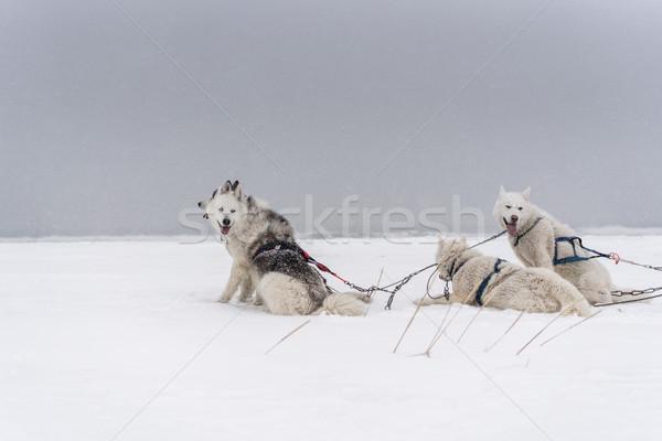 Csapat kutyák hóvihar part kutya hó Stock fotó © MikhailMishchenko