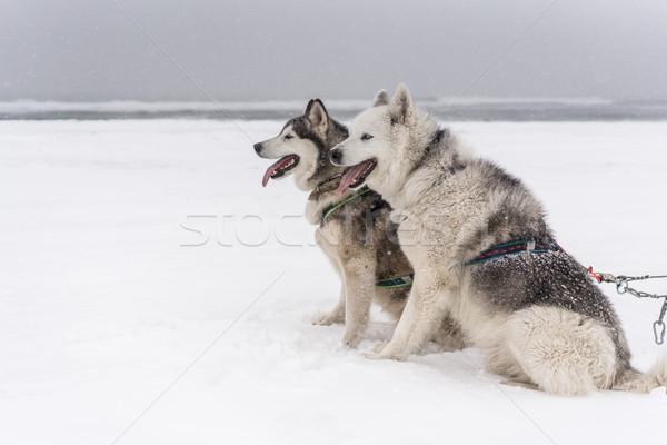 Stok fotoğraf: Takım · köpekler · kar · fırtınası · sahil · köpek · kar