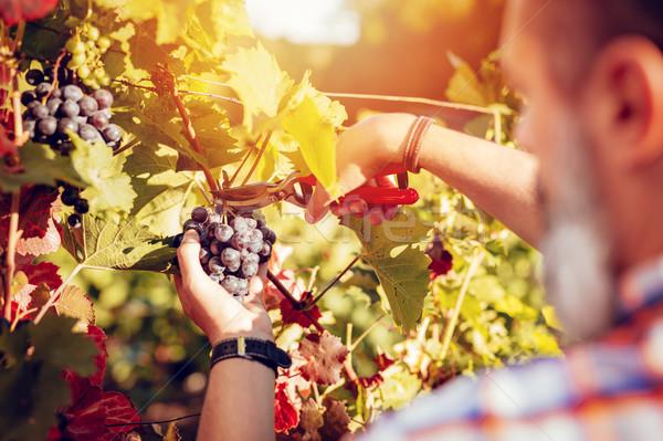 Szőlőskert aratás hátsó nézet jóképű vág szőlő Stock fotó © MilanMarkovic78
