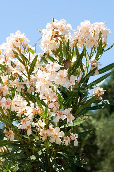 light orange oleander flower Stock photo © MilanMarkovic78