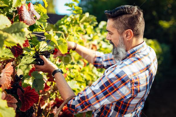 Vineyard Harvest Stock photo © MilanMarkovic78