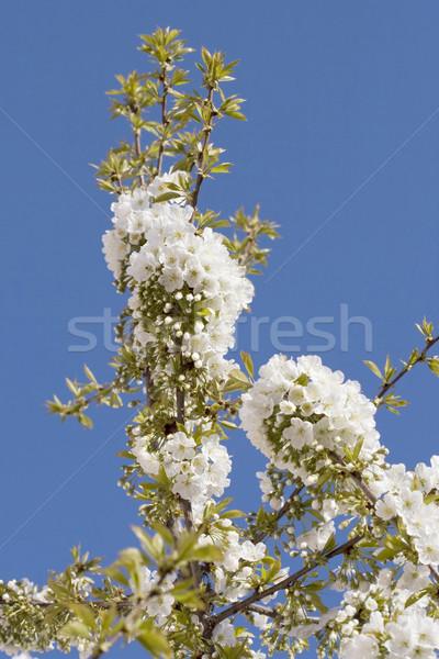 Blooming Cherry Stock photo © MilanMarkovic78