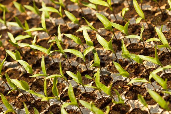 Vegetales plántulas plantas creciente jardín olla Foto stock © MilanMarkovic78